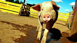 Researchers take a shine to animal spit.