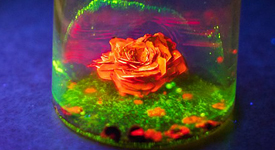June Chempics winner: Enchanted rose.