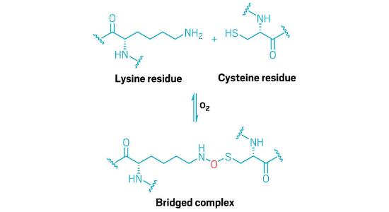 New covalent bridge found in proteins.