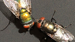 Fly-egg profiling method reveals a corpse's time of death faster.