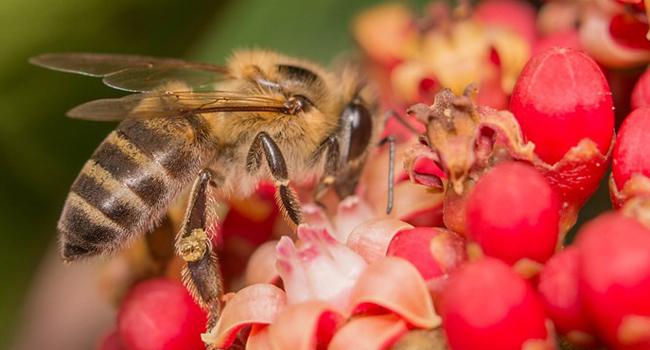 Inside the brains of killer bees.