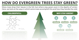 How do evergreen trees stay so green and lovely all winter long?