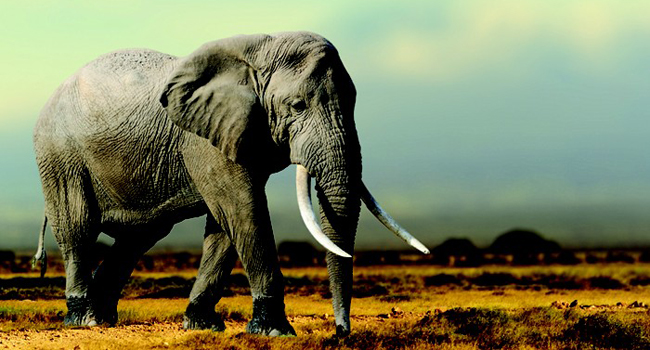 Extra gene helps elephants resist cancer.