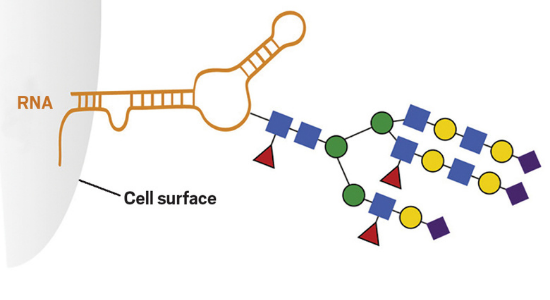 Glyco-RNA found on cell surfaces.